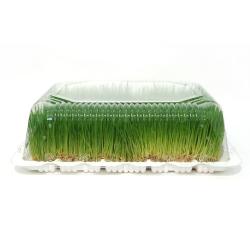 Ковер пророщенной пшеницы<br> 8-10 см.<br> grass wheat